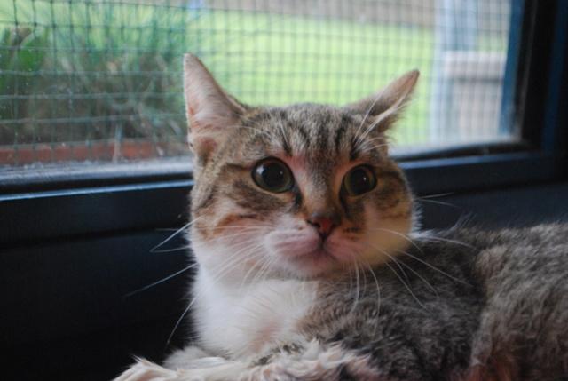 Pluton, chat tigré blanc Dsc_7411