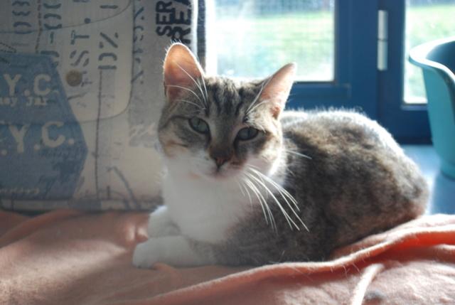 Pluton, chat tigré blanc Dsc_7619
