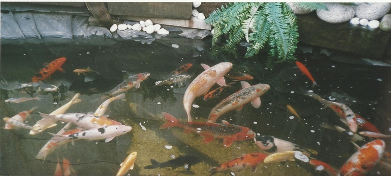 Enjoying my koi pond Koi_mi12