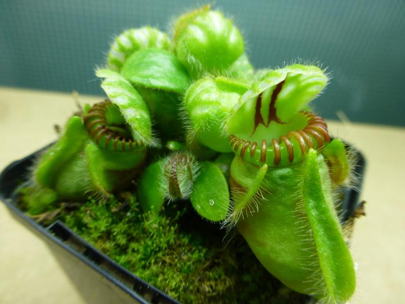 photos de céphalotus - Page 4 Follic10