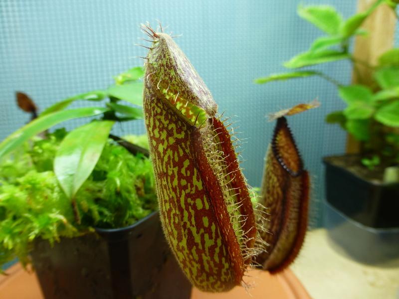 photos de nepenthes Hamata26