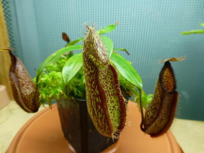photos de nepenthes Hamata27