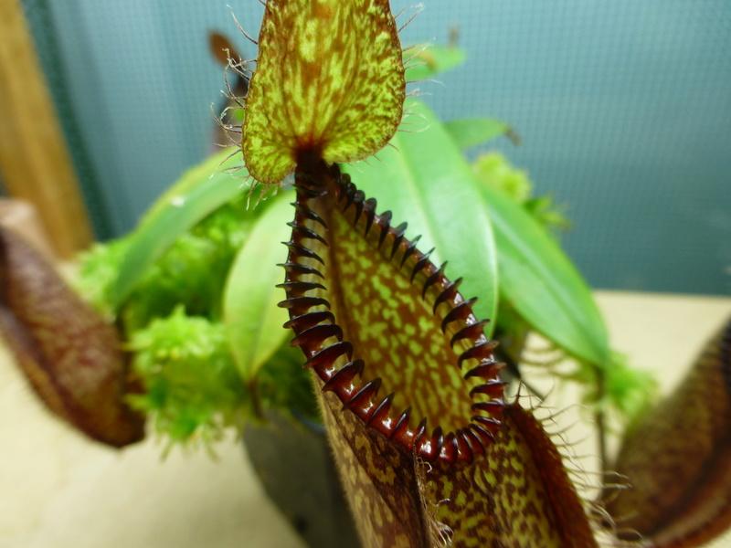 photos de nepenthes Hamata41