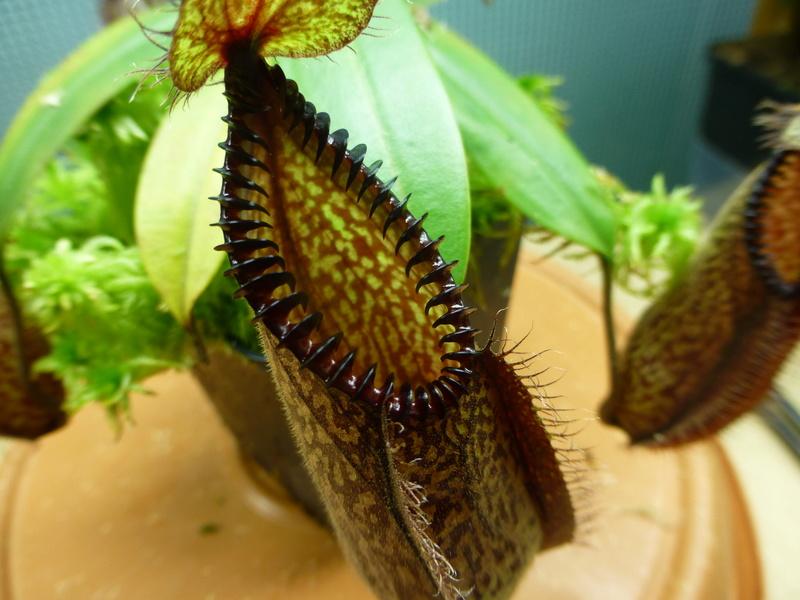 photos de nepenthes P1020933