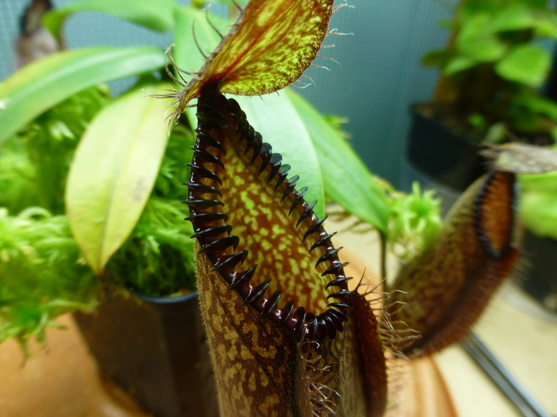 photos de nepenthes P1020934