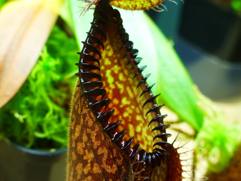 photos de nepenthes P1030017