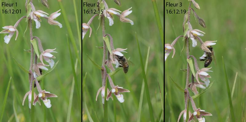 Pollinisateur sur E. palustris 1epipa10