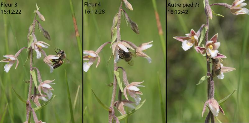 Pollinisateur sur E. palustris 2epipa10