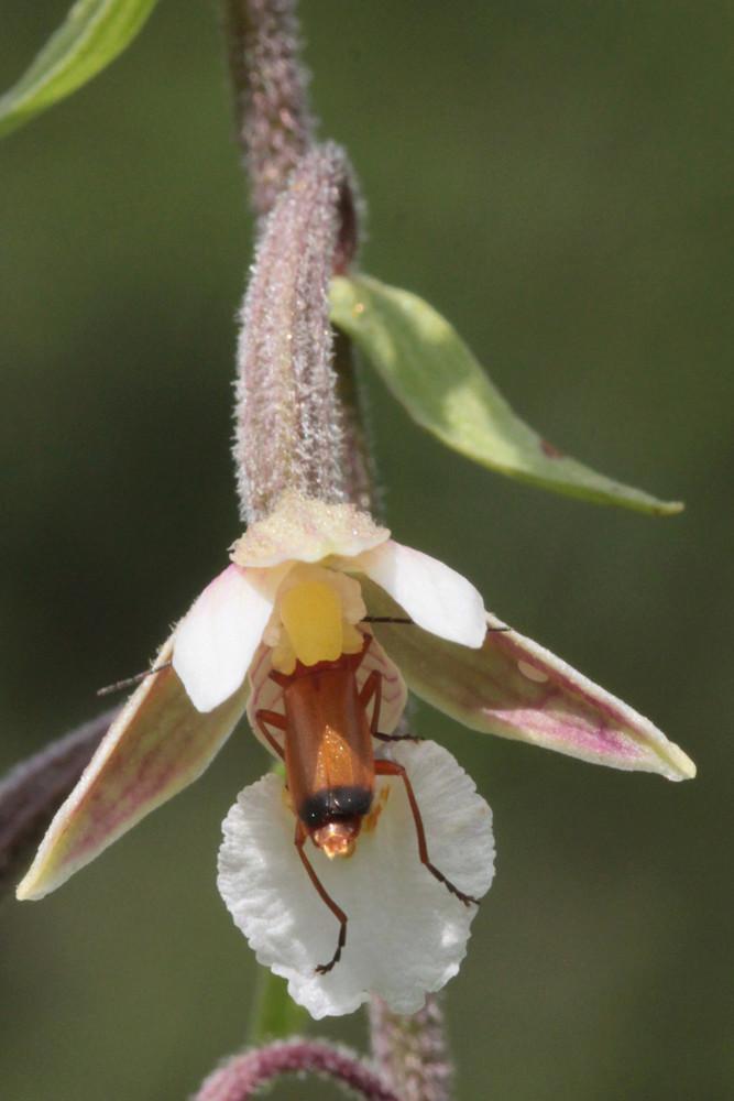Pollinisateur sur E. palustris 4epipa10