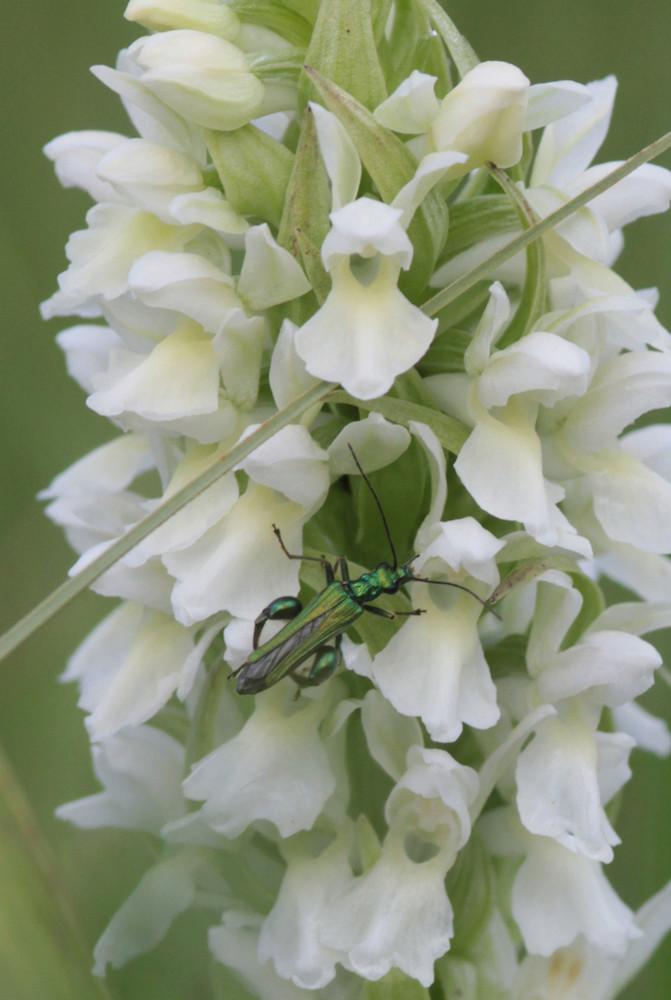 Divers insectes d'été Coleio10