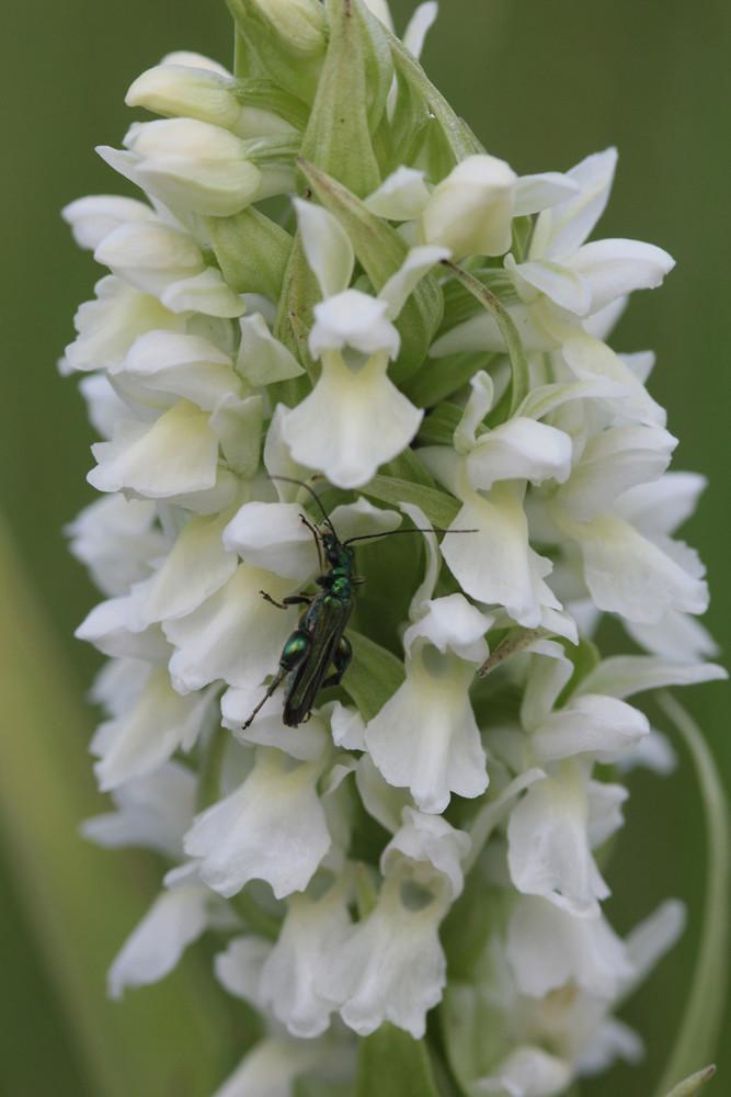 Divers insectes d'été Coleio11