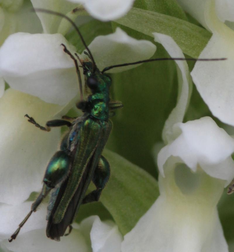 Divers insectes d'été Coleio12