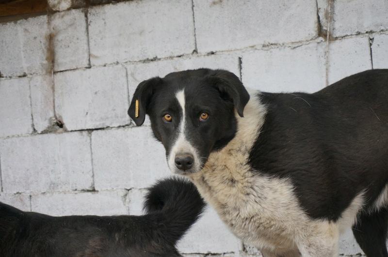 GORANA- F-Xberger de taille moyenne - Né 2011 (TAMARA) u refuge depuis 2 ans RESERVEE Pattes et tic Goran113