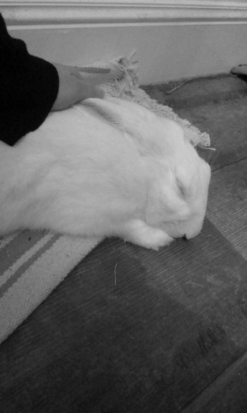 [ADOPTE] Darwin, jeune lapin de laboratoire 19078210