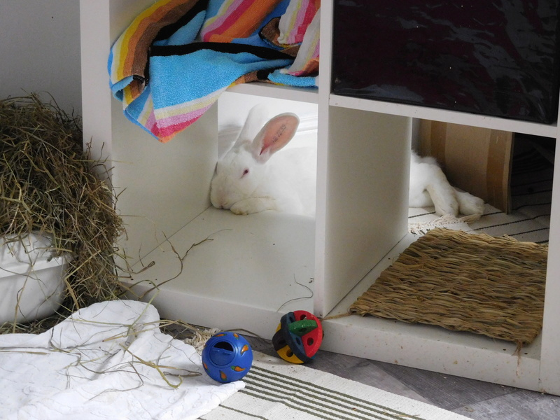 [ADOPTE] Darwin, jeune lapin de laboratoire 19815910