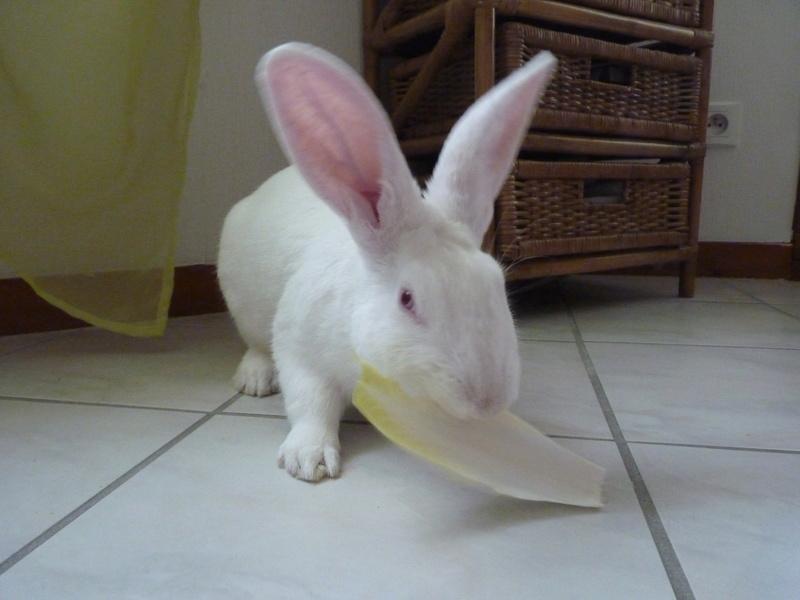 [ADOPTE] Dali, jeune lapin de laboratoire 20525510
