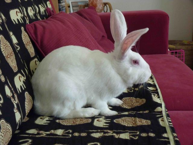 [ADOPTE] Dali, jeune lapin de laboratoire 21427210