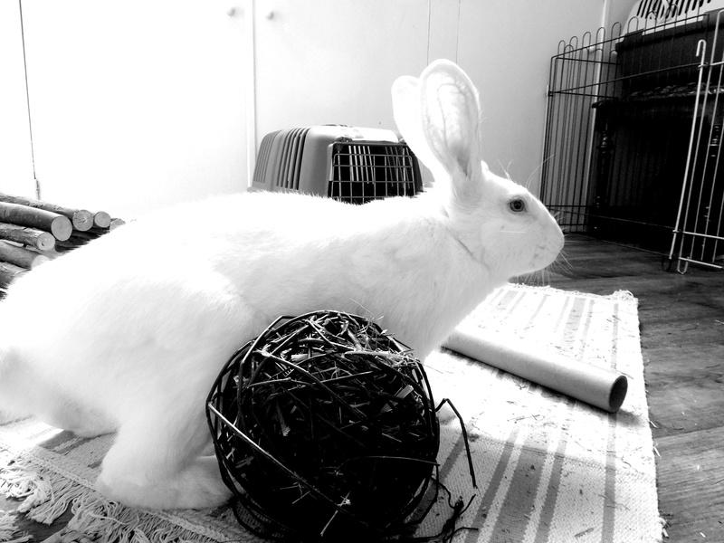 [ADOPTE] Darwin, jeune lapin de laboratoire 21438110