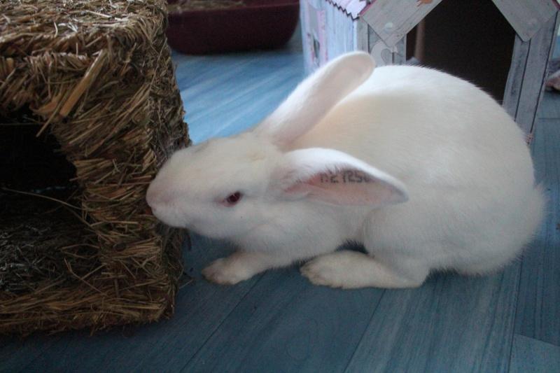[ADOPTE] Dexter, lapin réhabilité de laboratoire 21956810