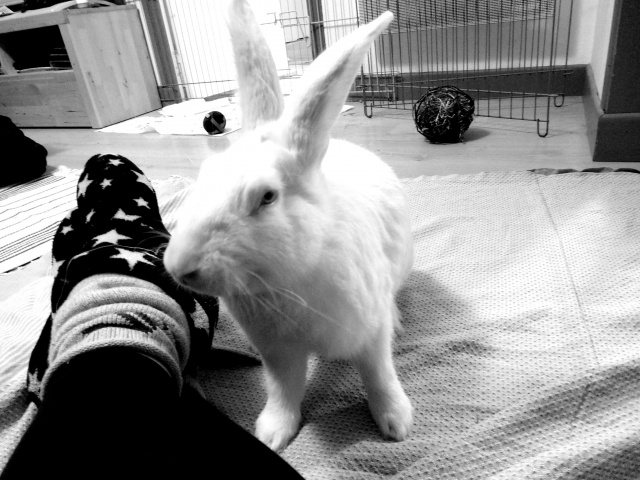 [ADOPTE] Darwin, jeune lapin de laboratoire 23112110