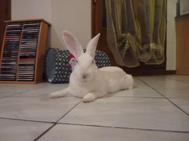 [ADOPTE] Dali, jeune lapin de laboratoire 23622410