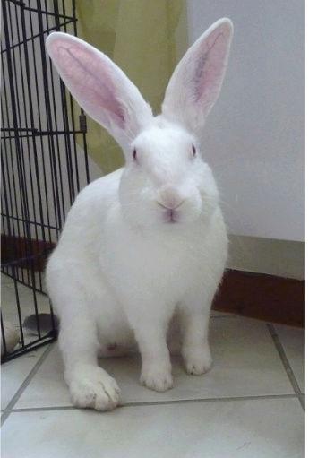 [ADOPTE] Dali, jeune lapin de laboratoire 26978010