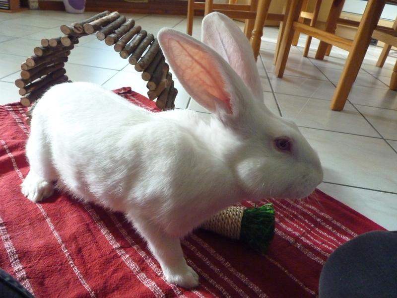[ADOPTE] Dali, jeune lapin de laboratoire 30663710