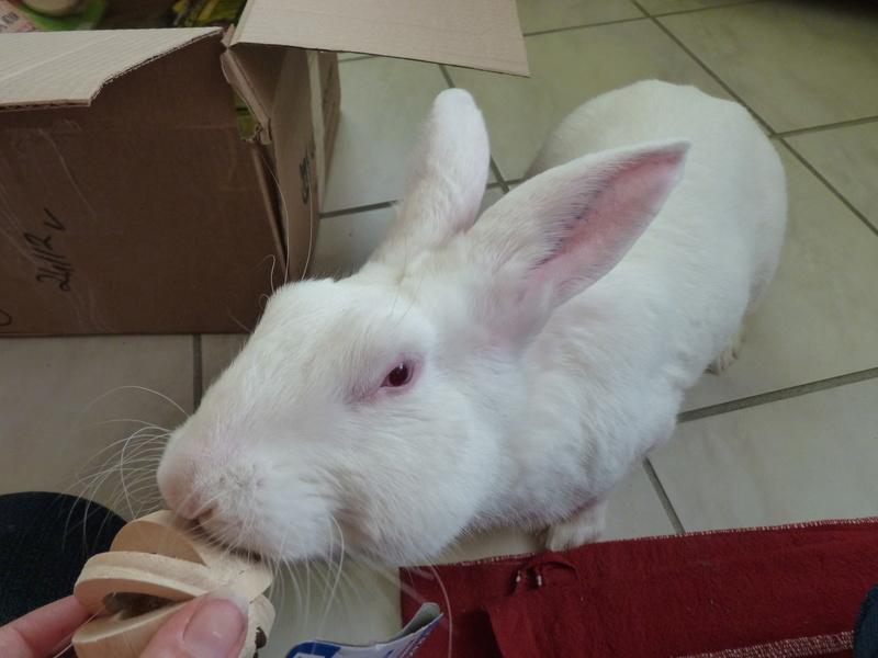 [ADOPTE] Dali, jeune lapin de laboratoire 31233410