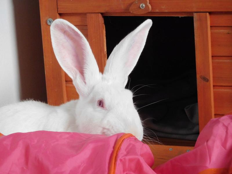 [ADOPTE] Darwin, jeune lapin de laboratoire 39964410