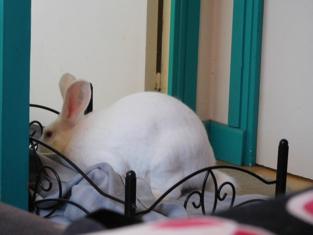 [ADOPTE] Darwin, jeune lapin de laboratoire 43093210