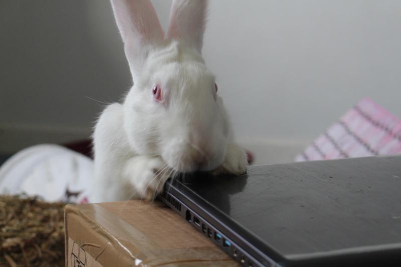 [ADOPTE] Dexter, lapin réhabilité de laboratoire 44848110