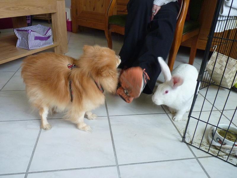 [ADOPTE] Dali, jeune lapin de laboratoire 51353210