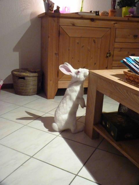 [ADOPTE] Dali, jeune lapin de laboratoire 51809710