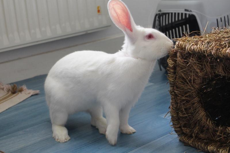 [ADOPTE] Dexter, lapin réhabilité de laboratoire 53025010