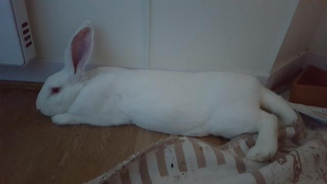 [ADOPTE] Bambou, jeune lapin de laboratoire 57383810
