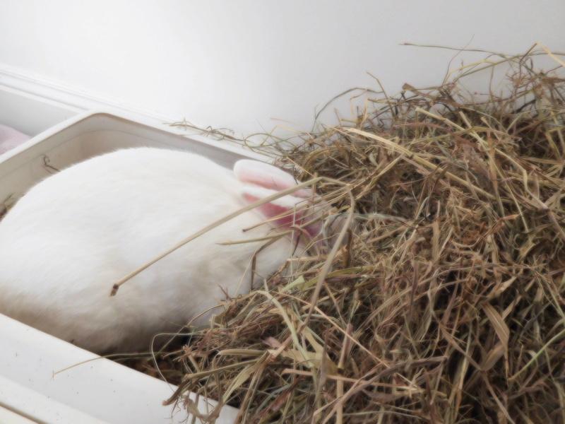 [ADOPTE] Darwin, jeune lapin de laboratoire 57456310