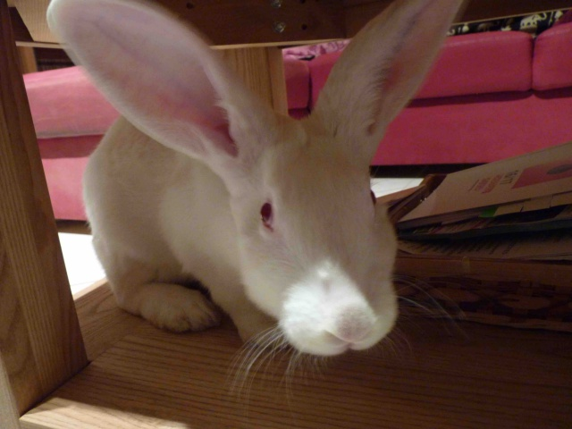 [ADOPTE] Dali, jeune lapin de laboratoire 69703610