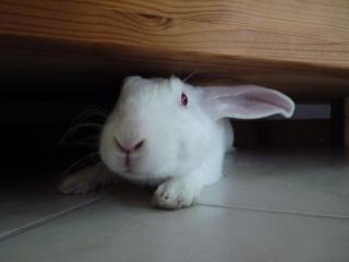 [ADOPTE] Dali, jeune lapin de laboratoire 78766910