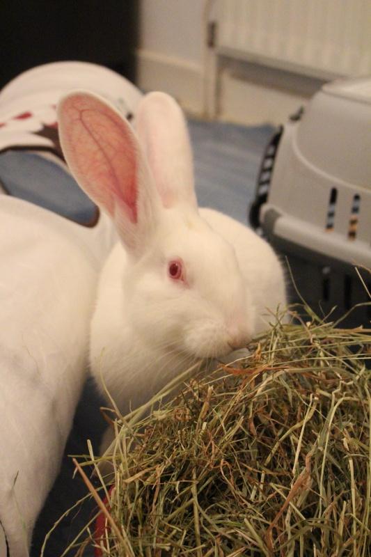 [ADOPTE] Dexter, lapin réhabilité de laboratoire 87681510