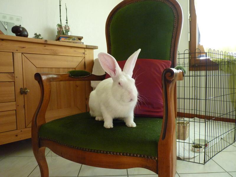[ADOPTE] Dali, jeune lapin de laboratoire 91278510