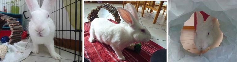 [ADOPTE] Dali, jeune lapin de laboratoire Dali211