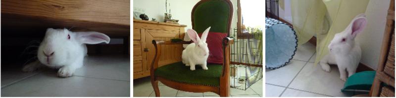 [ADOPTE] Dali, jeune lapin de laboratoire Dali310