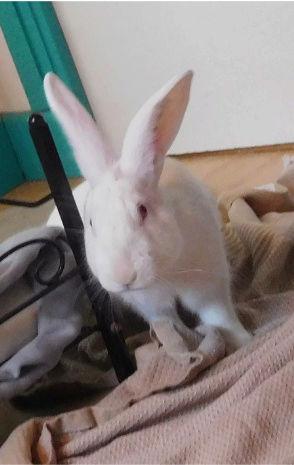 [ADOPTE] Darwin, jeune lapin de laboratoire Darwin10