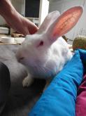 [ADOPTE] Darwin, jeune lapin de laboratoire Mini_410