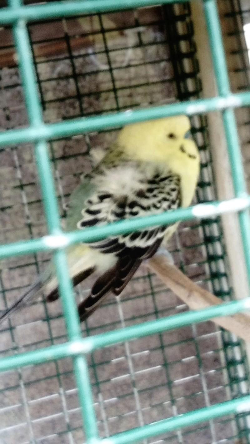 perruche qui ne vole plus Oiseau10