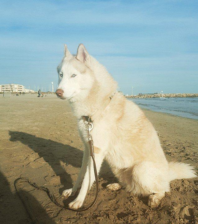 Lo-Jack Alias Ghost (Sibirian husky) - Page 5 15049610