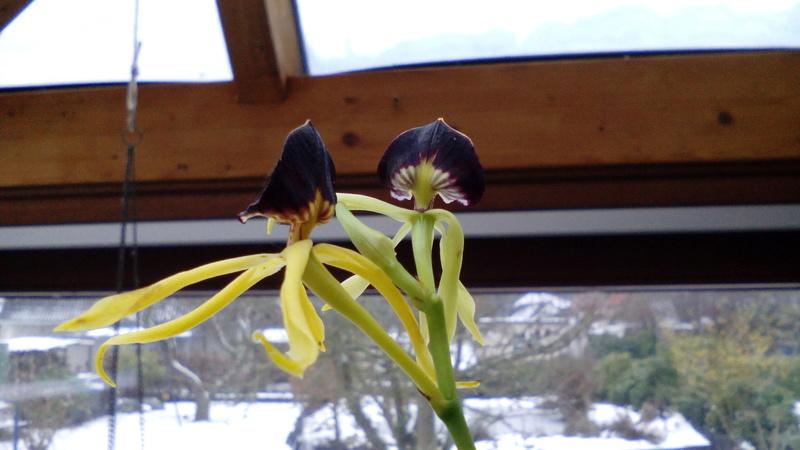 Orchideen 2 (fortlaufende Seiten 200 bis 300) - Seite 51 20_01_11