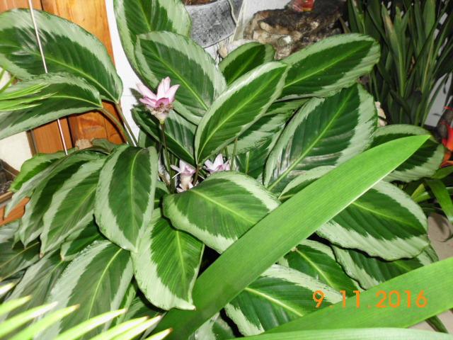 Pfeilwurzgewächse (Marantaceae) Dsci0210