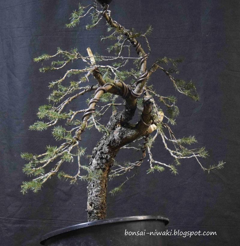 Picea abies_spruce_3 2b10