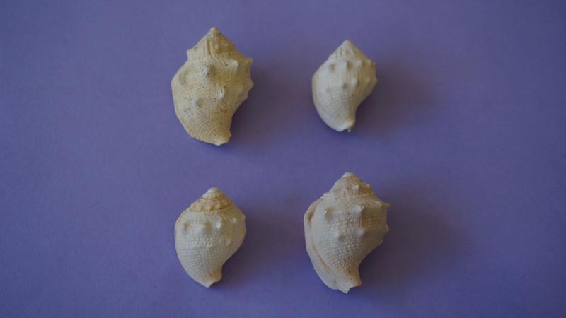 Cassidae - † Galeodea coronata Deshayes, 1830 GA 166-10 - Bartonien inf. (Bassin Parisien) 00113